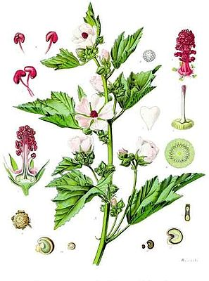 Althaea officinalis, Illustration.